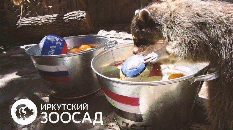 Иркутский енот Нафаня предсказал победу команды Египта над Россией