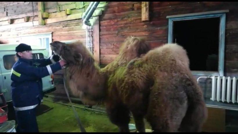 Спасти верблюда…