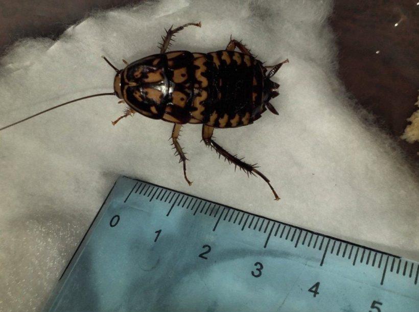 Редкого таракана из Юго-Восточной Азии нашли в иркутском офисе