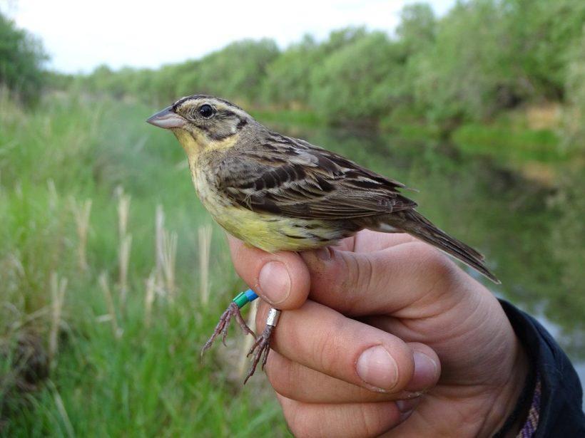 Ученые продолжают сбор средств на проект по изучению птицы дубровника