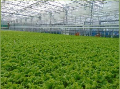 В Саянске планируют открыть производство по круглогодичному выращиванию огурцов и салата