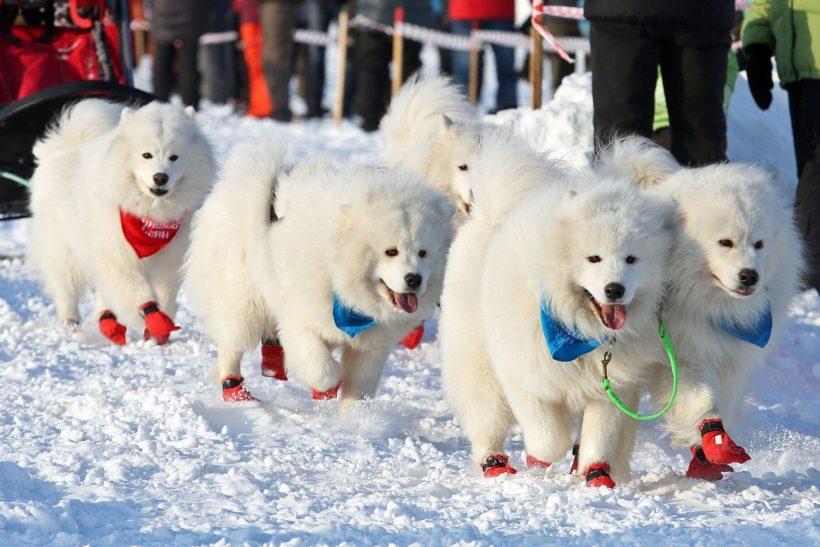 Дух Аляски. 2-4 марта на Байкале пройдут гонки на собачьих упряжках