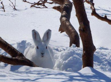 Семь тушек зайцев-беляков изъяли у двух жителей Усольского района