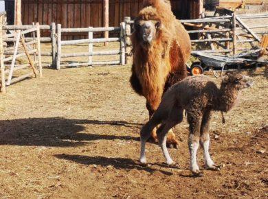 В этнокомплексе в Прибайкалье родился верблюжонок. Видео