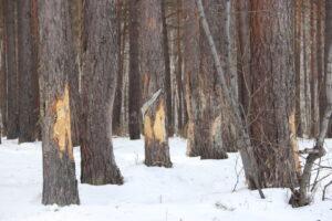 Черные лесорубы заготовили древесины более чем на 700 млн рублей в Иркутской области