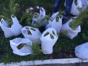 В предместье Рабочее в Иркутске высадили 60 деревьев
