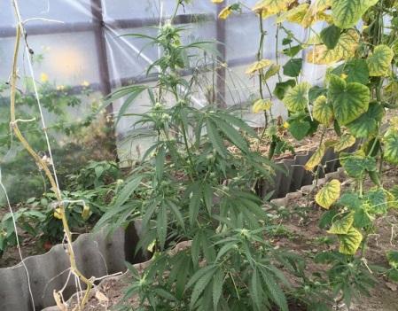 Ангарчанин вырастил у себя на даче 70 килограммов конопли