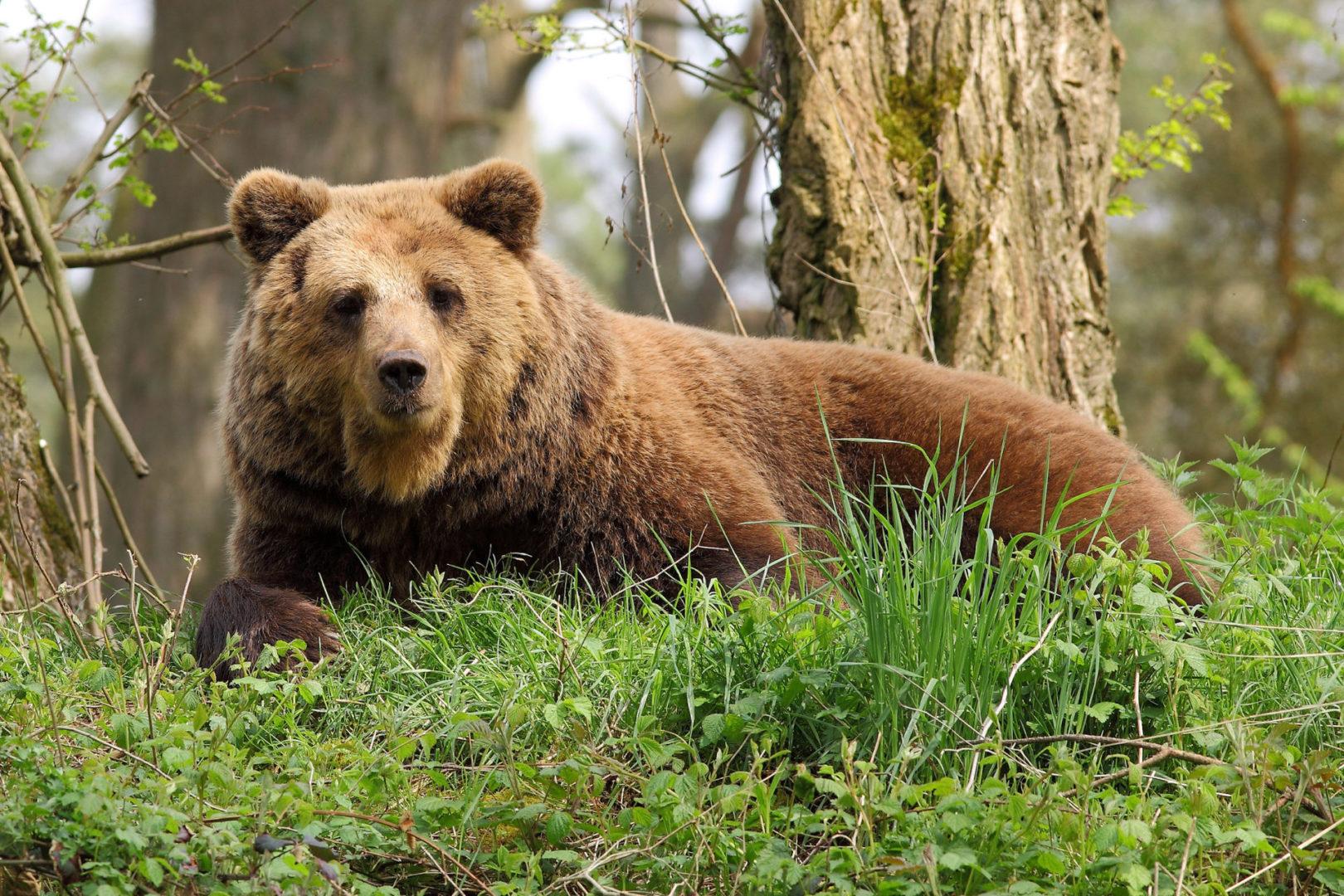 Мэрия Братского района предупреждает жителей об участившихся случаях появления медведей на территории