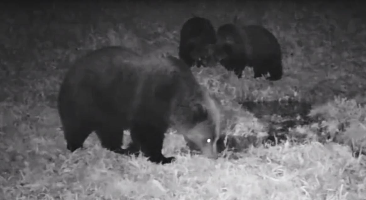 Медведица с тремя медвежатами попала на видеокамеру в Прибайкальском нацпарке