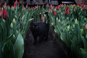 Почти 50 тысяч тюльпанов вырастили в Горзеленхозе Иркутска. Фото