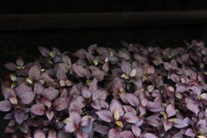 Эти цветы скоро высадят на городские клумбы в Иркутске. Фото