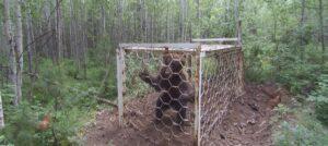 В Усть-Илимске медведя высвободили из ловушки